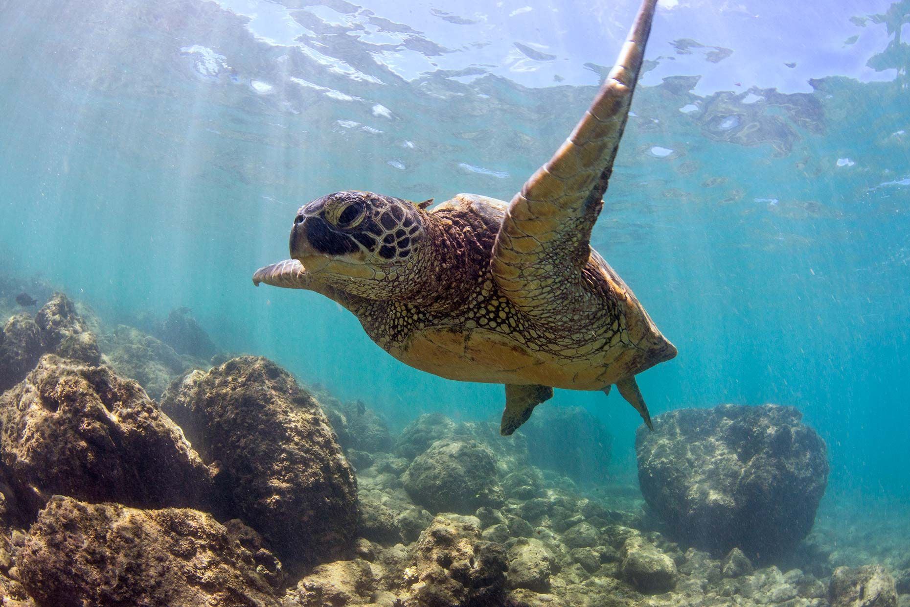 Ian-Coble-Beach-Lifestyle-Resort-Hawaii-Maui-Sea-Turtle-Underwater